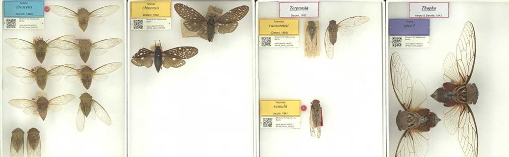 Weltweit gibt es weit mehr als 60.000 beschriebene Arten und diese füllen bei uns am Museum mehr als 1.000 Insektenkästen