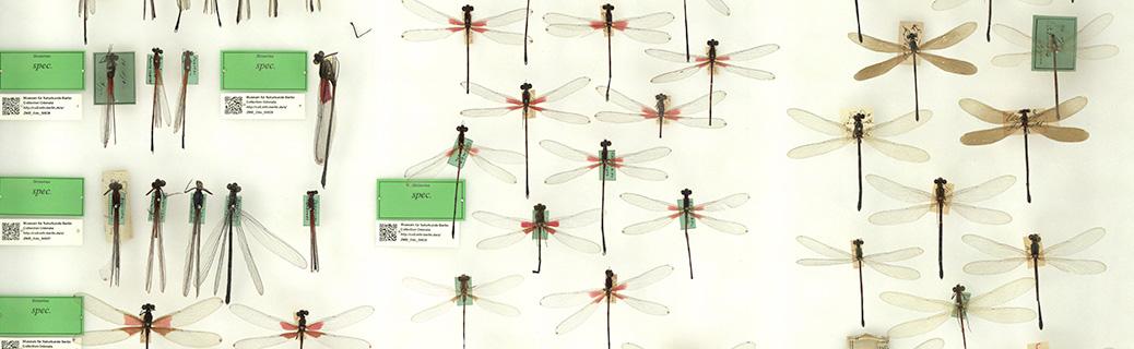 In unserem Museum verteilen sich die Klein- und Großlibellen auf etwa 750 Insektenkästen.